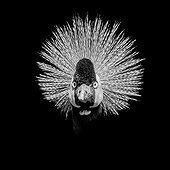 Portrait of Crowned Crane - Zoo Clères France