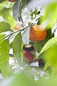 Oranges on the tree - Fez Morocco