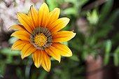 Gazania Flower - Morocco