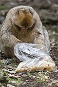 Barbary Macaque eating in a bag - Morocco ; Plastic bag left by walkers