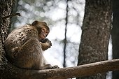 Young Barbary Macaque on branch Cedar - Morocco