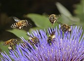 Honey Bees and Mining Bees on Artichoke flower - France
