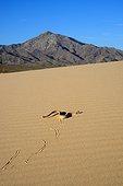 Sidewinder Horned rattle snake crawling on dune - California