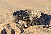 Sidewinder Horned rattle snake on sand -Mojave California