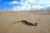 Sidewinder Horned rattle snake on sand - Mojave California