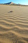 Sidewinder Horned rattle snake on dune - Mojave California
