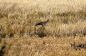 Secretary bird in the tall grass - Kalahari South Africa
