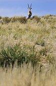 Oryx on a dune - Kalahari Desert  South Africa