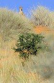 Cheetah on a dune - Kalahari Desert  South Africa