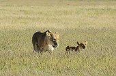 Lioness and cub in tall grass - Kalahari desert