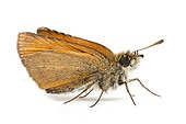 European Skipper on white background