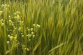 White mustard - Peloponnese Greece