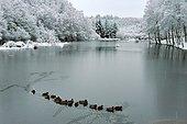 Mallard ducks on a frozen lake - Limousin France