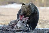 Ours brun mangeant une carcasse d'Elan - Finlande