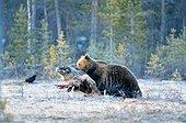Ours brun emportant une carcasse d'Elan - Finlande