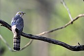 Indian cuckoo on a branch - Tadoba NP  India