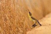 Purple Sunbird - Tadoba NP India