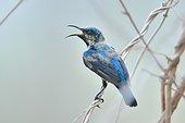 Purple Sunbird on a branch - Tadoba NP  India