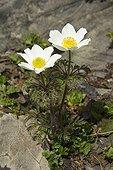 Alpine Anemones flowers - Alps France