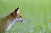 Portrait of young Red fox in a meadow - France