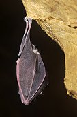 Greater Horseshoe bat  in hibernation  - Bugey France
