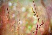 Praying mantis on a grass stem - Prairie du Fouzon France