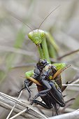 Praying mantis eating a cricket - Prairie du Fouzon France