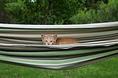 Red and white tabby kitten in a hammock - France