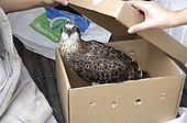 Osprey injured in a box - New Caledonia