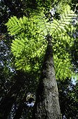 Tree fern - Mont Koghi New Caledonia