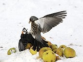 Fieldfare fighting with male blackbird over apples in snow