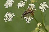 Common Wasp on flowers - Molslaboratoriet Denmark