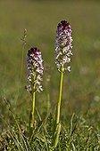 Burnt Orchid flowers - Stora Alvar  Øland  Sweden