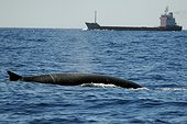 Fin whale surface and boat - Mediterranean Sea