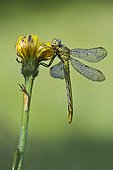 Green Snaketail on flower - Vosges France