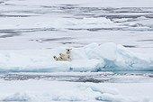 Ours polaire au repos sur un iceberg  - Spitzberg Svalbard