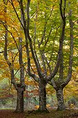 European beech in autumn - Gorbeia NP Spain
