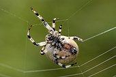 Four spot orb weaver spinning its web - Vosges France  ; on the banks of a lake bog