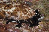 Sea cucumber feeding tentacles probe bottom - Thailand