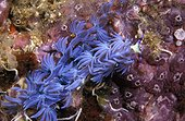 Blue Dragon Nudibranch on reef - Thailand