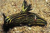 Yellowlined Roboastra sea slug with Emperor Shrimp -Thailand