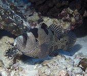 Spotted Soapfish on reef - Kiribati