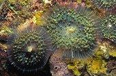 Anémone de mer disque - La Dominique