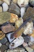 Alevin de Truite arc-en-ciel nageant près du fond - USA ; alevin de 1cm de long d'environ 2 semaines