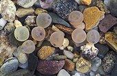 Oeufs de Truite arc-en-ciel sur le fond - Washington USA ; Remarquez les yeux
