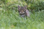 Chat sauvage d'Ecosse dans une prairie en été - Ecosse