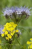 Lacy phacelia and white mustard in bloom in a garden