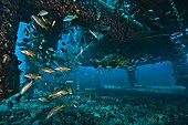 Goliath grouper and Snappers-  Aquarius Reef Base Florida ; marine life below Aquarius: under the habitat. Over the years, a complete deep reef ecosystem has built up on the steel structure