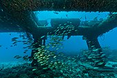 Schoolmaster Snappers -  Aquarius Reef Base Florida ; marine life below Aquarius: under the habitat. Over the years, a complete deep reef ecosystem has built up on the steel structure
