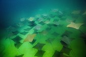 School of Pacific Cownose Ray - Cabo Pulmo Baja California